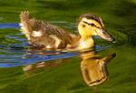 Baby Mallard Duck, Anas platyrhynchos