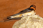 Barn Swallow on Nest, Hirundo rustica