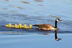 Canada Goose Family, Branta canadensis