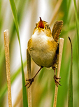 Marsh Wren in Cattails, Cistothorus palustris