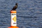 Double-Crested Cormorant Perched on Marker, Charles River, Boston, Massachusetts