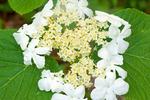 Hobblebush, Viburnum lantanoides, Viburnum alnifolium, Witch-hobble, Moosewood