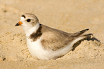 Piping Plover on Nest, Charadrius melodus