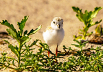 Baby Piping Plover, Charadrius melodus