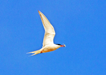 Common Tern Flying with Fish in Mouth, Sterna hirundo