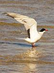 Common Tern with Wings Spread, Sterna hirundo