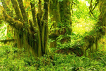 Quinault Rainforest, Olympic National Park, Washington