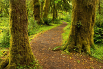 Maple Glade Trail in Quinault Rainforest, Olympic National Park, Washington
