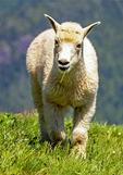 Mountain Goat Baby, Oreamnos americanus