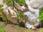 Mountain Goat Mother and Baby Feeding, Oreamnos americanus