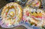 Aggregating Anemone, clonal anemone, Pink Tipped Anemone, Elegant Anemone, Anthopleura elegantissima