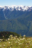 Yarrow and the Olympic Mountains, Mountains from Hurricane Ridge, Olympic National Park, Washington