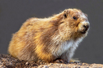 Olympic Marmot, Marmota Olympus