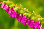 Purple Foxglove, Digitalis purpurea