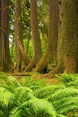 Colonnade of Trees, Hoh Rainforest, Olympic National Park, Washington