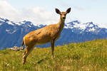 Blacktail Deer on Hurricane Ridge, Odocoileus hemionus columbianus, Olympic Mountains, Olympic National Park, Washington
