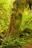 Ferns and Trees, Hall of Mosses, Hoh Rainforest, Olympic National Park, Washington