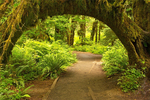 Tree Tunnel, Hall of Mosses, Hoh Rainforest, Olympic National Park, Washington