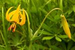 Columbia Lily, Tiger Lily, Lilium columbianum