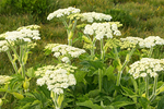 Common Cowparsnip, Indian Celery, Pushki, Cow Parsnip, Heracleum maximum
