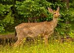 Blacktail Deer, Odocoileus hemionus columbianus