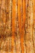 Bark of Western Red Cedar, Thuja plicata