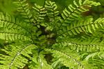 Western Maidenhair Fern, Aleutian Maidenhair, Adiantum aleuticum