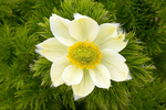 White Pasqueflower, Western Anemone, Anemone occidentalis, Pulsatilla occidentalis