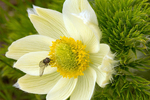 Mosquito on White Pasqueflower, Western Anemone, Anemone occidentalis, Pulsatilla occidentalis