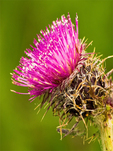 Edible Thistle, Indian Thistle, Cirsium edule var. edule