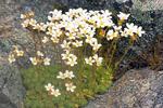 Slender Mountain Sandwort, Arenaria capillaris