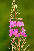 Fireweed, Chamerion angustifolium, Epilobium angustifolium