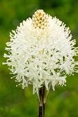 Bear Grass, Squaw Grass, Soap Grass, Quip-Quip, Indian Basket Grass, Xerophyllum tenax