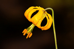 Columbia Lily, Tiger Lily, Lilium columbianum