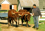 Oxen, Hancock Shaker Village, Berkshires, Hancock, Massachusetts