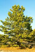 Pitch Pine Tree, Pinus rigida
