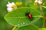 Mating Dogbane Leaf Beetles, Chrysochus auratus