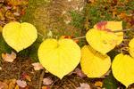 Viburnim Leaves Around Tree, Hobblebush, Viburnum lantanoides, Viburnum alnifolium