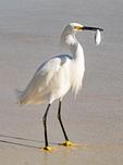 Florida Royal Palm Tree, Roystonea regia, Roystonea elata, Everglades National Park, Florida