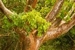 Gumbo Limbo Tree, Bursera simaruba