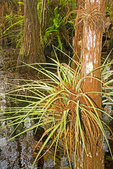 Epiphyte Leaves on Cypress Tree, Mosaic Dome, Everglades National Park, Florida