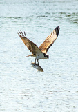 Osprey Flying with Fish in Mouth, Pandion haliaetus