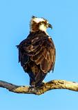 Osprey on Branch, Pandion haliaetu