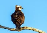 Osprey on Branch, Pandion haliaetus