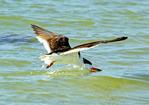 Black Skimmer Flying and Feeding