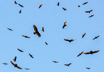 American Black Vultures Flying, Coragyps atratus