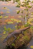 Alligator at Sunset on the Anhinga Trail, Alligator mississippiensis