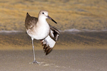 Willet with Wing Spread, Tringa semipalmata
