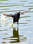 American Coot Walking on Water, Marsh Hen, Mud Hen, Fulica Americana