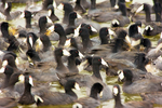 Close-up of a Flock of Coots, Marsh Hen, Mud Hen, Fulica Americana